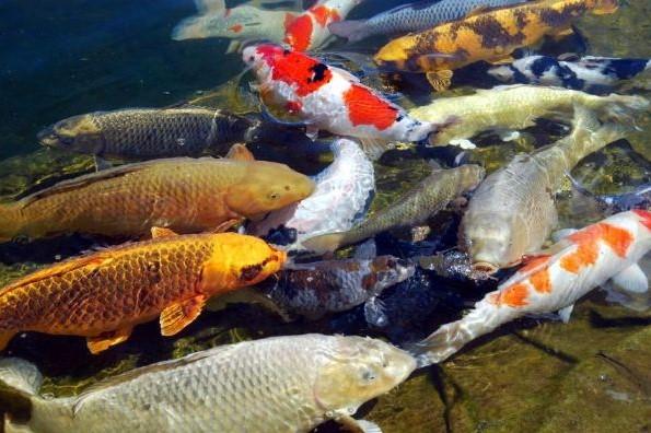 Tips Jitu Cara Memelihara Ikan Koi Dengan Baik