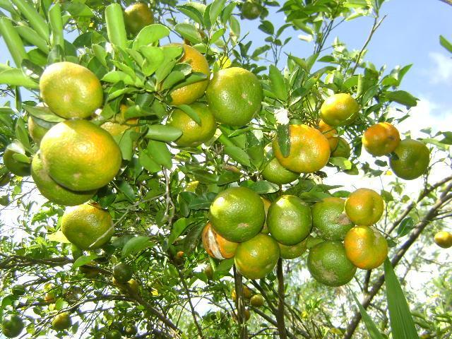 Jeruk Keprok Dengan Beribu Manfaat